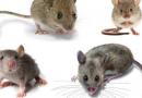 Nằm mơ thấy chuột vào những con số may mắn liên quan tới chuột
