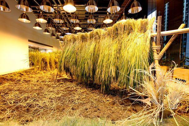 Trồng lúa tại văn phòng