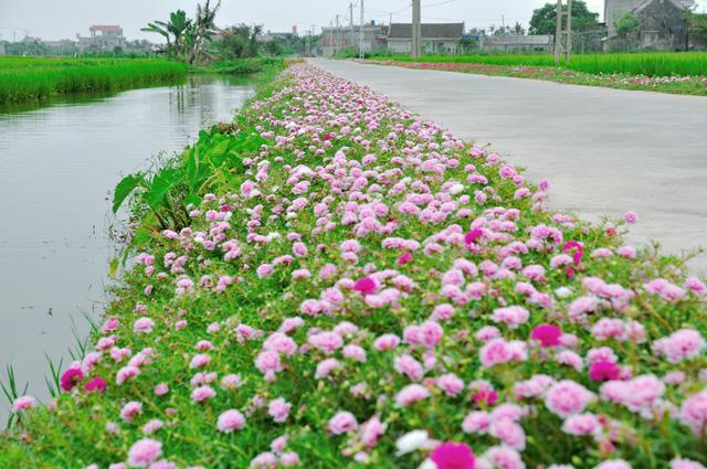Vẻ đẹp con đường hoa mười giờ giữa cánh đồng xanh
