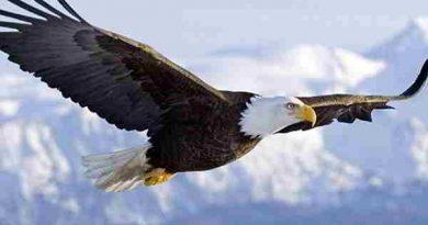 Chiêm bao mơ thấy chim ưng là điềm báo hên hay xui?