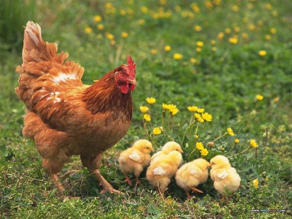 Giải mã giấc mơ thấy gà mái có ý nghĩa gì?